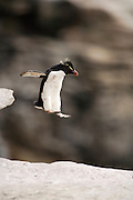 Der kleine Traum vom Fliegen: Felsenpinguine (Eudyptes chrysocome) sind mutig und gewandt im felsigen Terrain unterwegs.| A penguin' s flight: unafraid the rockhopper penguins (Eudyptes chrysocome) move  in the rocky terrain, daring even big jumps.  [size of single organism: 50 cm]