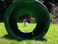 A Papillion dog practicies agility sabina louise pierce