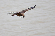 Black-eared Kite drops its meal whilst on the wing, Assam, India.