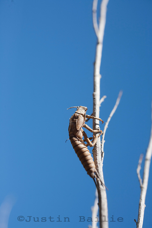 Stonefly nymphal shuck on the Deschutes River, Oregon.