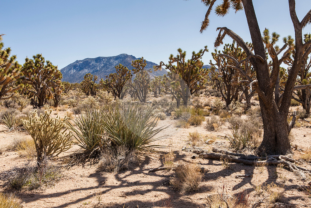 Yucca and cactus desert in the Hualapai Nation reservation, AZ.