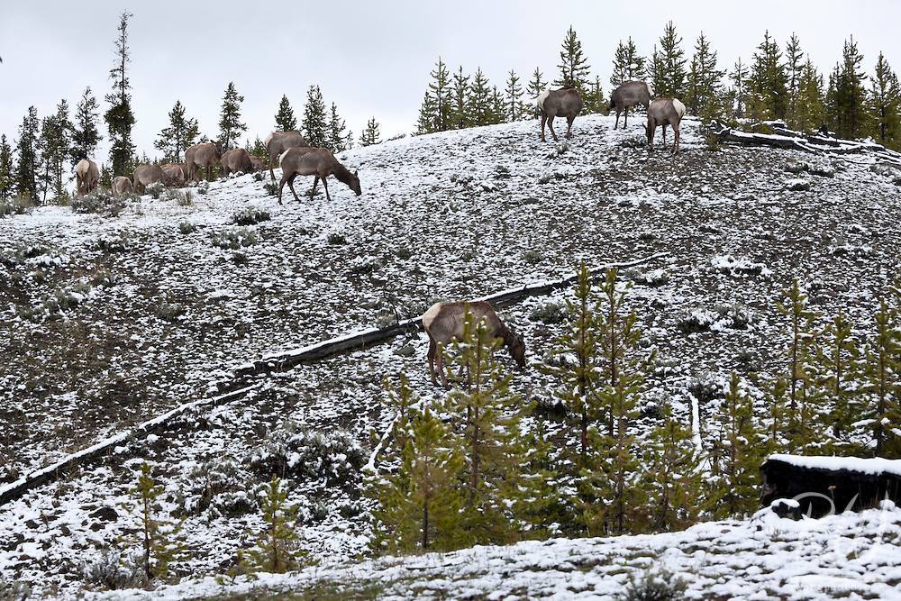 Herd of Elk Grazing in Snow, Yellowstone National Park, Wyoming