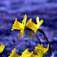 Daffodils are a spring perennial bulb flower in the genius of Narcissus.