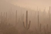Winter storms bring rain and fog to Saguaro National Park West, Sonoran Desert, Tucson, Arizona, USA.
