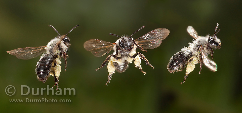 A digital composite of the same mining bee (genus: Andrena ) in several different flight attitudes. Western Oregon. Photographed with a high-speed camera system.