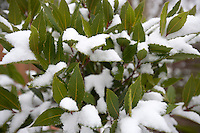 Close up of leaves covered in snow