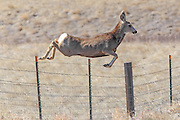Mule deer jumping fence in habitat.