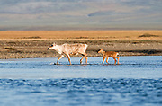 Alaska. ANWR. Caribou crossing the Turner River.