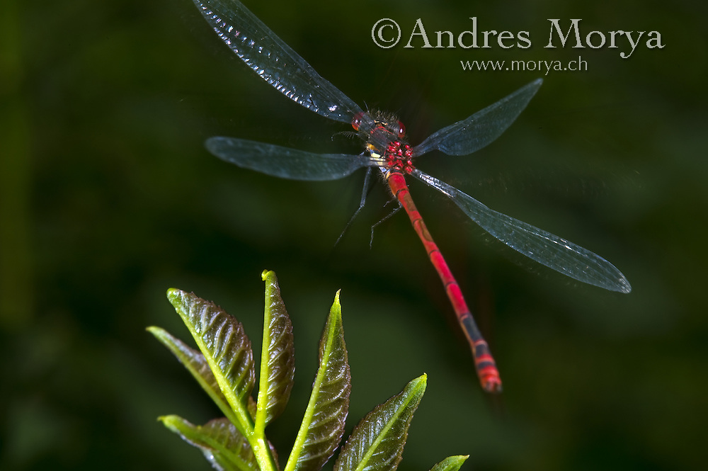 Large Red Damsel in flight (Pyrrhosoma nymphula). Insect in Flight, High Speed Photographic Technique Image by Andres Morya