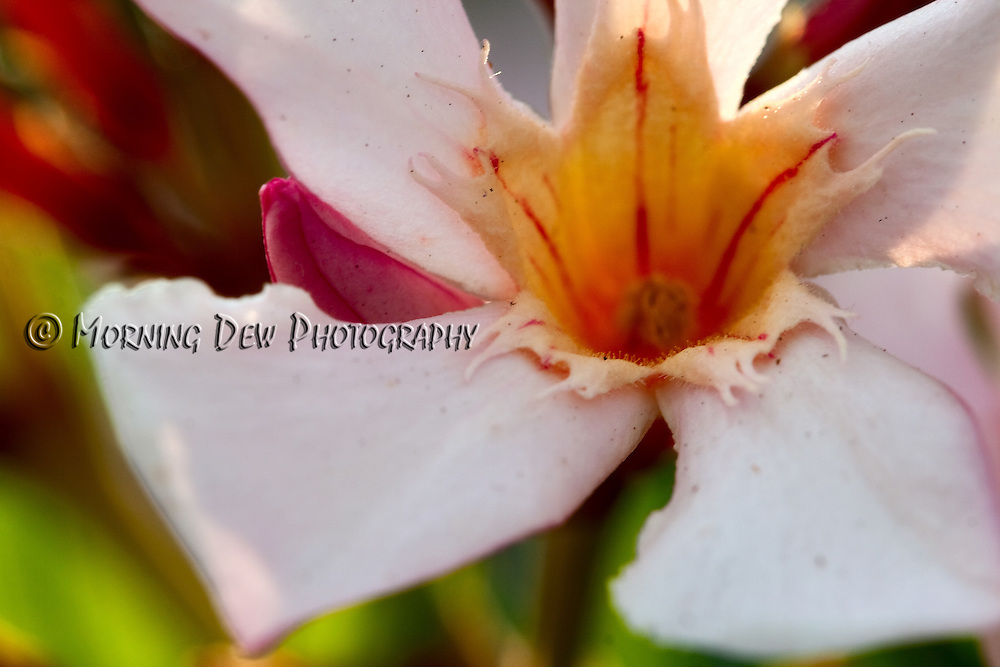 Macro shot of an oleander blossom.