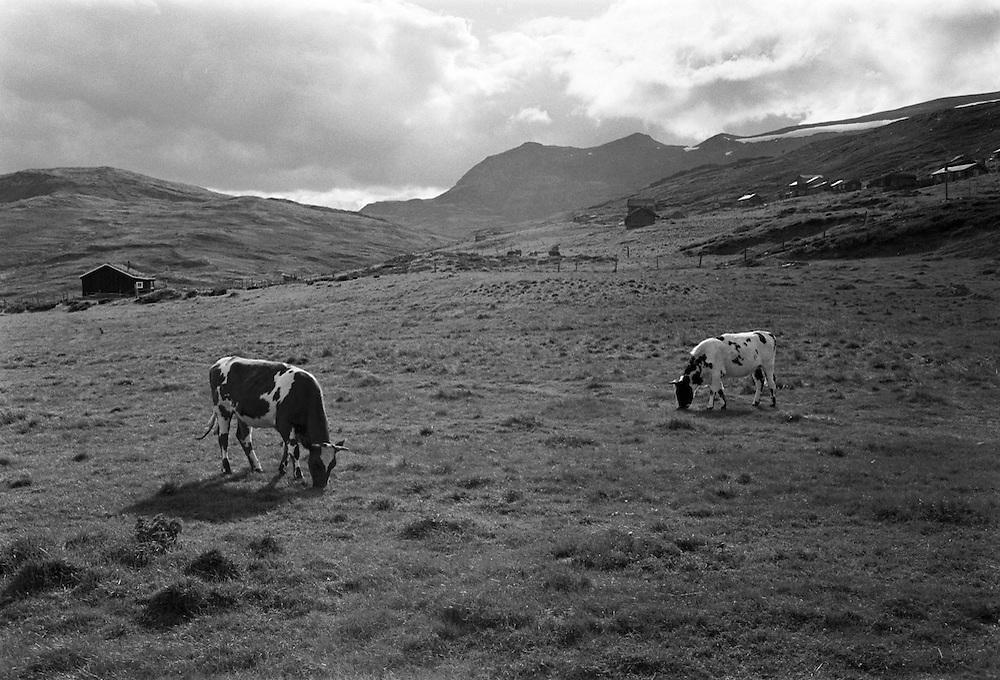 Fjällkor i Rondane, Norge. 1973.