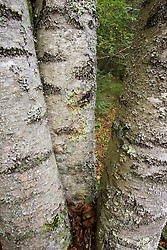 Lichen on birch tree in North Hampton New Hampshire USA