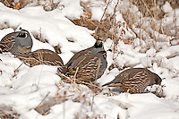 A group of California quail feed on seeds in the snow.