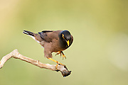 Common myna (or Indian Myna Acridotheres tristis). This bird is native to southern Asia from Afghanistan to Sri Lanka. The Myna has been introduced in many other parts of the world and its distribution range is on the increase to an extent that in 2000 the Species Survival Commission (IUCN) declared it among the World's 100 worst invasive species. and one of only three birds in this list. It is a serious threat to the ecosystems where introduced. Photographed in Israel inApril