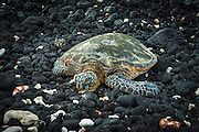 Hawaiian green sea turtle on a lava beach, Kohala Coast, The Big Island, Hawaii USA