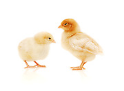 Young Chicken on white background