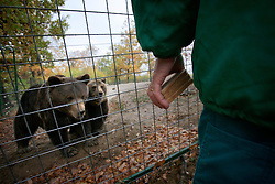 ROMANIA ZARNESTI 29OCT12 - Feeding time for the bears at the Zarnesti Bear Sanctuary in Romania, funded by WSPA...With over 160 acres (70 hectares) spread over a wooded hillside, it is Romania's first bear sanctuary and today houses 67 bears rescued from ramshackle zoos and cages at roadside restaurants......jre/Photo by Jiri Rezac / WSPA....© Jiri Rezac 2012