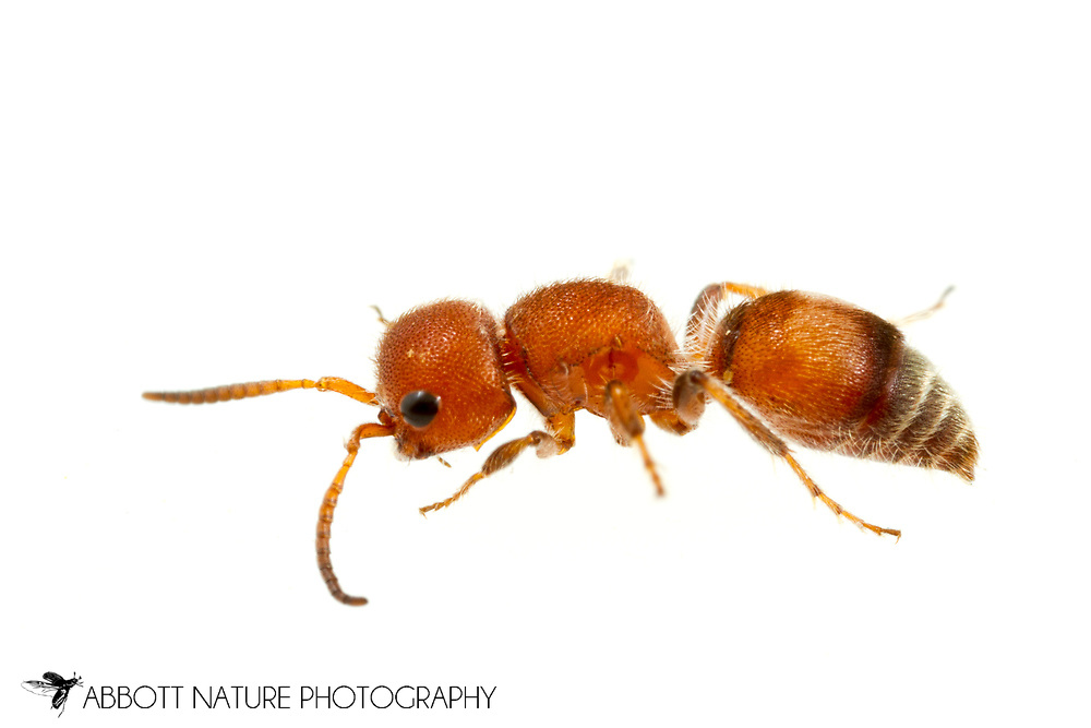 Velvet Ant (Pseudomethoca frigida) - female<br /> United States: Alabama: Tuscaloosa Co.<br /> Tulip Tree Springs off Echola Rd.; Elrod<br /> 23-Jun-2017<br /> J.C. Abbott #2962