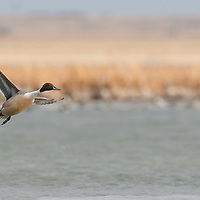 single northern pintail drake takes off over water with wetland background