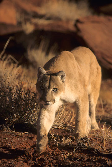 Mountain Lion or Cougar, (Felis concolor) Adult. Moab, Utah. Red rock country. Captive Animal.