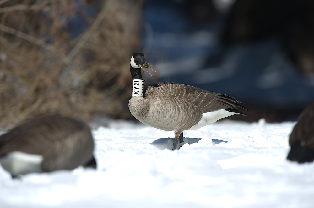collared goose feeding in a field.