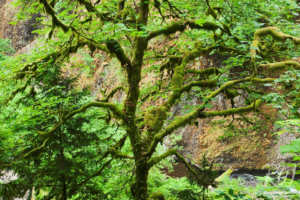 Temperate Rainforest Trees near Multnomah Falls, Columbia River Gorge National Scenic Area, Oregon