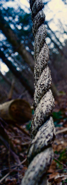 Winter, Nolde Forest, Vine twist into rope, Reading, Berks County, PA
