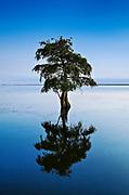 Lone cypress tree in brackish water, Taxodium distichum.