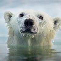 Canada, Manitoba, Churchill, Polar Bear (Ursus maritimus) swimming by melting sea ice in Hudson Bay on summer evening