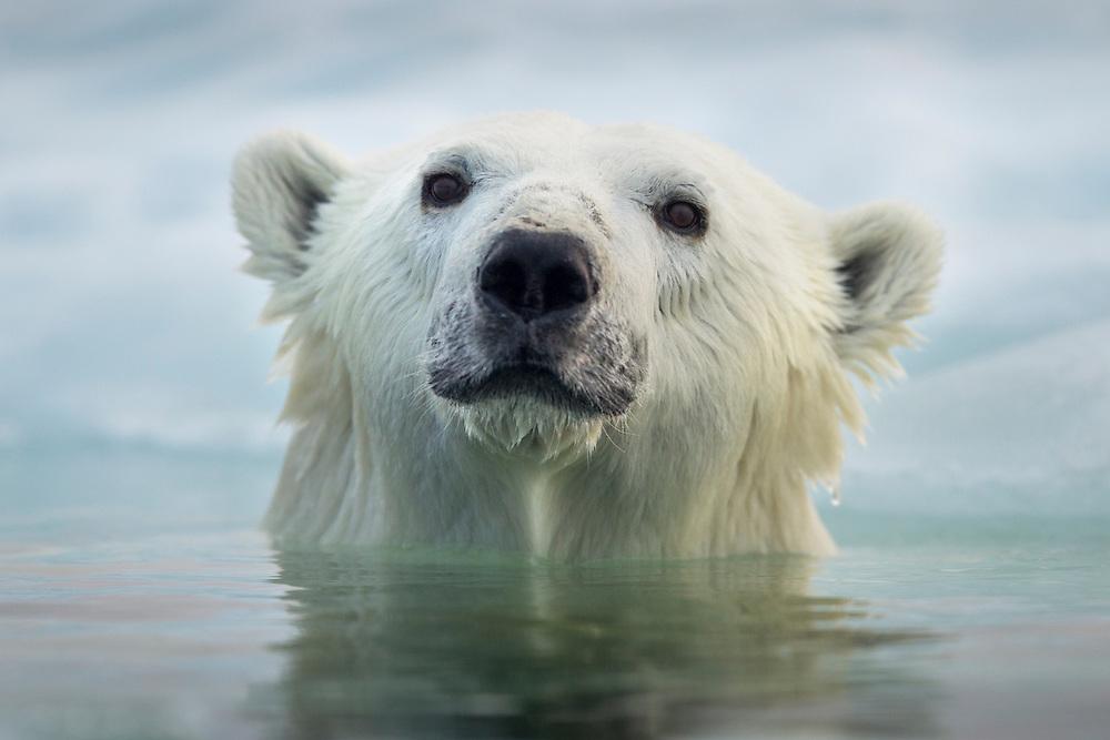 Canada, Manitoba, Churchill, Polar Bear (Ursus maritimus) swimming by melting sea ice in Hudson Bay on summer evening
