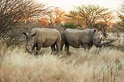 White rhinoceros or Square-lipped rhinoceros (Ceratotherium simum) Photographed Lake Nakuru, Kenya