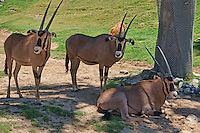 Oryx (Spear-Horned Antelope)