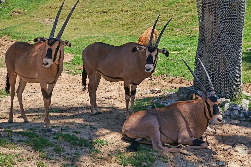 Oryx (Spear-Horned Antelope)