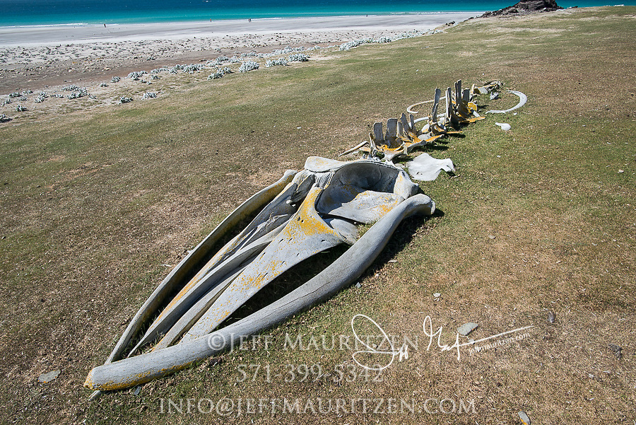 The skeletal remains of whale bones on Saunders Island in the Falklands.