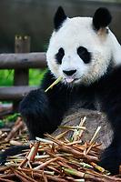 Chengdu, China - September 19, 2014: one giant Panda bear eating bamboo roots in Bifengxia base reserve Sichuan China