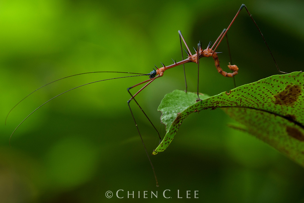 Parastheneboea neglecta, a rare stick insect known from only a few specimens from the rainforest of western Borneo.