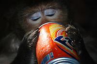 Monkey drinking Fanta Natural sc Monkey at Wat Phnom
