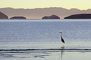 Great Blue Heron (Ardea herodias) and offshore islands, Bahia de los Angeles, Baja California, Mexico