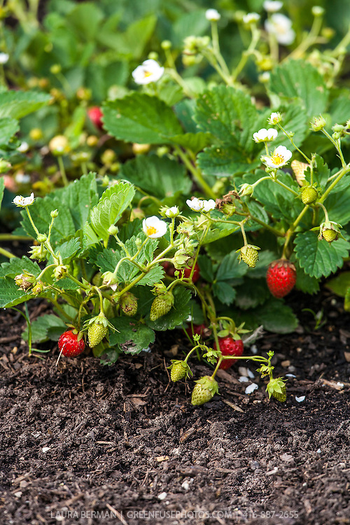 Temptation' Strawberry plants in all stages of flower and fruit development.