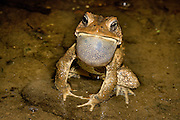 American Toad; Bufo americanus; PA, Fairmount Park, Wissahickon Cr.