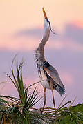 Great Blue Herons are very adaptable, and can utilize almost any wetland habitat within its population range. They are a large powerful bird; and with their large pointed bills as an effective weapon, they have few natural predators.