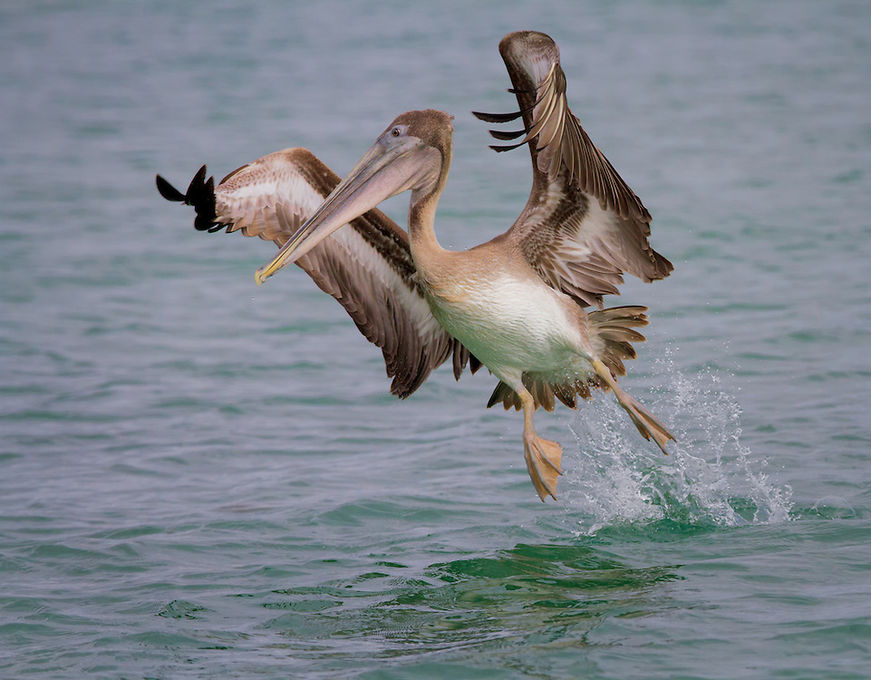 Pelican (disambiguation), Santa Cruz, Black Turtle Cove, Galápagos Islands; Ecuador; South America
