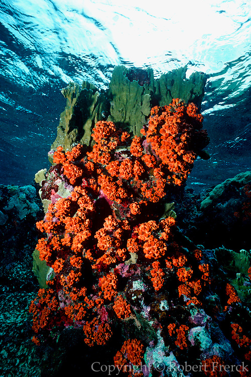 UNDERWATER MARINE LIFE CARIBBEAN, generic CORAL: Tube Coral, polyps contracted Tubastrea aurea