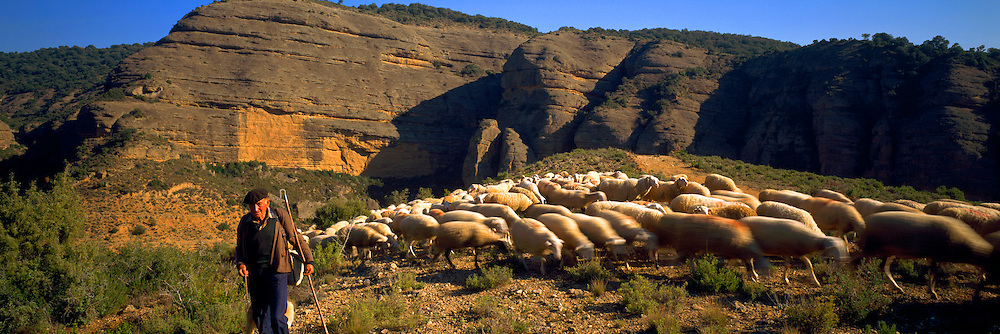 SPAIN, AGRICULTURE North Aragon; Alquezar; shepherd and flock grazing northeast of Huesca