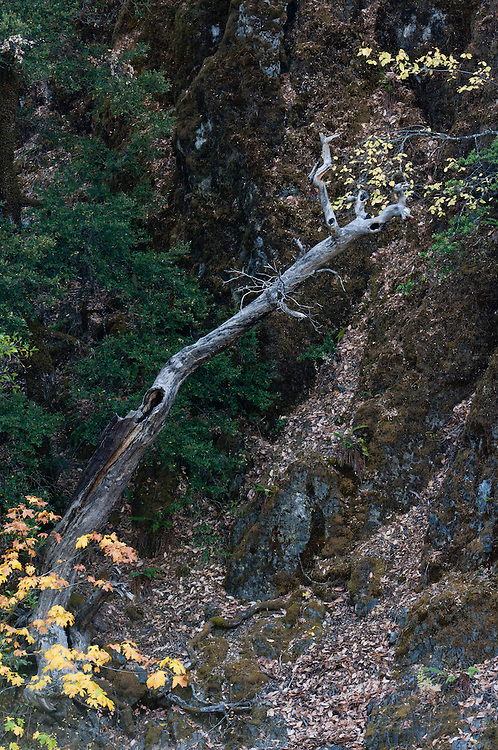 Leaning grey Madrone trunk against a rockface surrounded by green and yellow trees