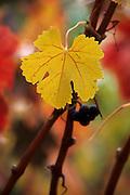 Wine grape leaf in the fall, Sonoma County, California