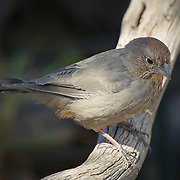 Canyon Towhee on a branch with dark background.