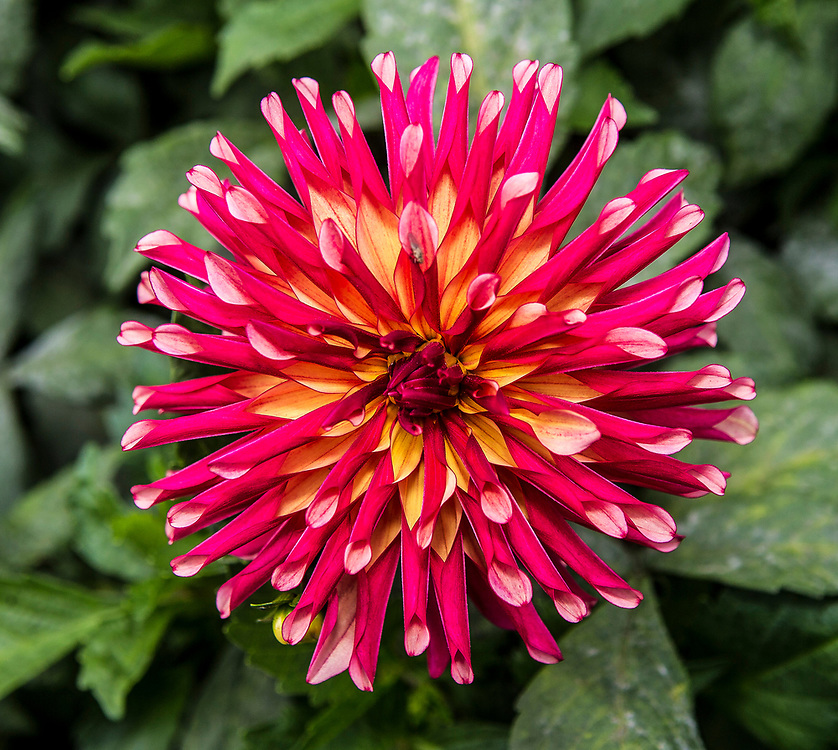 Aug 23 - 2014  San Francisco, ca Golden Gate Park Dahlias Garden, river's novelty