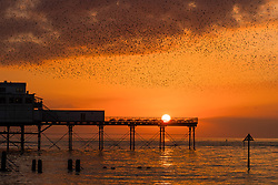 © Licensed to London News Pictures. 1/11/2017. Aberystwyth, Wales, UK. A spectacular display of starlings against a dramatic sunset as the  thousands of the tiny birds fly and swoop in 'murmurations' of intricate patterns in the sky in Aberystwyth,  before descending to roost for the night underneath the town's seaside pier  .Photo credit: Keith Morris/LNP