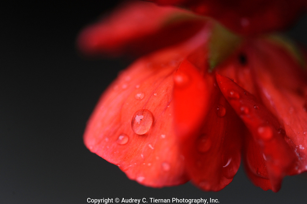 A red geranium bows it's head under the weight of raindrops on a rainy spring day in Roslyn Heights, NY.
